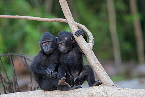 Celebes crested macaque (Macaca nigra), two babies sitting on tree trunk. Tangkoko National Park, Sulawesi, Indonesia.  -  Sylvain Cordier