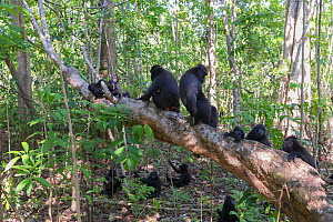Celebes crested macaque (Macaca nigra) group sitting on and amongst trees in forest. Tangkoko National Park, Sulawesi, Indonesia.  -  Sylvain Cordier