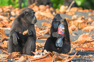 Celebes crested macaque (Macaca nigra), two sitting amongst leaves, one holding plastic bottle. Tangkoko National Park, Sulawesi, Indonesia. 2018.  -  Sylvain Cordier