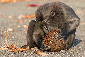 Celebes crested macaque (Macaca nigra) male eating a coconut. Tangkoko National Park, Sulawesi, Indonesia.  -  Sylvain Cordier