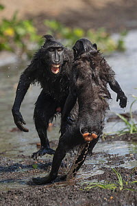 Celebes crested macaque (Macaca nigra), two fighting in river. Tangkoko National Park, Sulawesi, Indonesia.  -  Sylvain Cordier