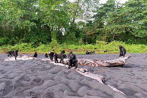 Celebes crested macaque (Macaca nigra) group on black sand beach. Tangkoko National Park, Sulawesi, Indonesia.  -  Sylvain Cordier