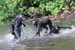 RF-Celebes crested macaque (Macaca nigra) group in river. Tangkoko National Park, Sulawesi, Indonesia. (This image may be licensed either as rights managed or royalty free)  -  Sylvain Cordier