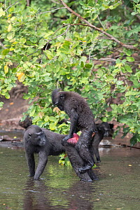 Celebes crested macaque (Macaca nigra) pair mating in river. Tangkoko National Park, Sulawesi, Indonesia.  -  Sylvain Cordier