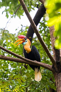 Red knobbed hornbill (Rhyticeros cassidix) perched on branch with open beak. Tangkoko National Park, Sulawesi, Indonesia.  -  Sylvain Cordier