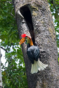 Red knobbed hornbill (Rhyticeros cassidix) with fruit in beak, on tree trunk below nest hole. Tangkoko National Park, Sulawesi, Indonesia.  -  Sylvain Cordier