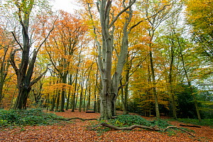 Beech (Fagus sylvatica) woodland in autumn, Piper's Hill and Dodderhill Commons, Worcestershire Wildlife Trust, England, UK, November. - Will Watson