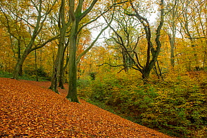 Beech (Fagus sylvatica) woodland in autumn, Piper's Hill and Dodderhill Commons, SSSI, Worcestershire Wildlife Trust, England, UK, November.  -  Will Watson