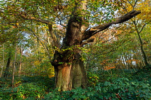 Veteran Sweet chestnut tree(Castanea sativa), with dead and decaying standing wood, Piper's Hill and Dodderhill Commons, Worcestershire Wildlife Trust Reserve, England, UK, November.  -  Will Watson