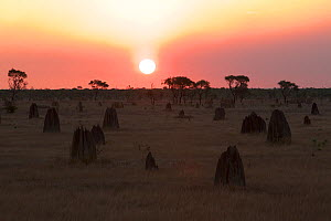 Sunset and termite mounds on the Nifold Plain in Lakefiled National Park, Cape York Peninsula, Queensland, Australia. August 2012  -  Tim  Laman