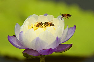 Bees in a water lily at a Roadside Billabong on the road to Port Stewart from Running Creek. Queensland, Australia.  -  Tim  Laman