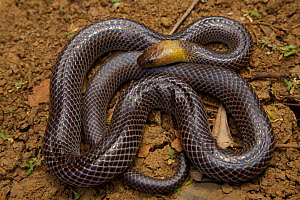 Brown-headed Snake (Furina tristis). Piccaninny Plains Sanctuary, Cape York Peninsula, Queensland, Australia.Venomous.  -  Tim  Laman