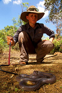 Australian Wildlife Conservancy biologist Eridani Mulder handles a venomous Brown-headed Snake (Furina tristis), Piccaninny Plains Sanctuary, Cape York Peninsula, Queensland, Australia. September 2012  -  Tim  Laman