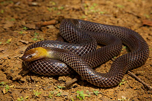 Brown-headed snake (Furina tristis) Piccaninny Plains Sanctuary, Cape York Peninsula, Queensland, Australia. Venomous.  -  Tim  Laman