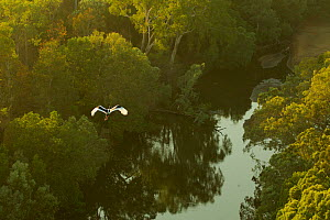Black-necked stork (Ephippiorhynchus asiaticus) flying over Archer River and adjacent gallery forest. Piccaninny Plains Sanctuary, Cape York Peninsula, Queensland, Australia  -  Tim  Laman