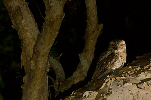 Papuan frogmouth (Podargus papuensis) hunting in the paperbark trees in the gallery forest along the Archer River. Piccaninny Plains Sanctuary, Cape York Peninsula, Queensland, Australia  -  Tim  Laman
