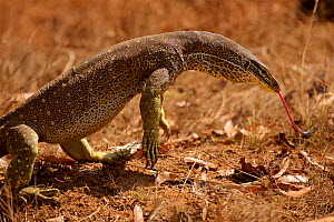 Yellow-spotted Monitor (Varanus panoptes) in dry Eucalypt woodland habitat of central Cape York Peninsula, Queensland, Australia.  -  Tim  Laman