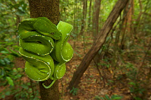 Green Python (Morelia viridis) in the rain forest of Iron Range National Park. Cape York Peninsula Queensland, Australia  -  Tim  Laman
