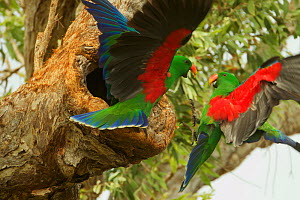 Eclectus parrot (Eclectus roratus) two males arrive at a nest cavity at the same time, both to provision the female within. Iron Range National Park, Cape York Peninsula, Queensland, Australia  -  Tim  Laman