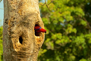 Eclectus Parrot (Eclectus roratus) female peering out from her nest cavity. Iron Range National Park, Cape York Peninsula, Queensland, Australia.  -  Tim  Laman
