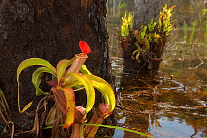 Pitcher Plant (Nepenthes sp.) growing in Sheldon Lagoon,Cape York Peninsula, Queensland, Australia.  -  Tim  Laman