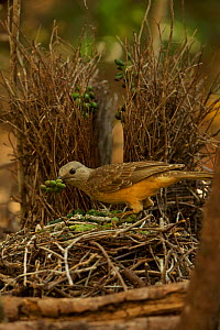Fawn-breasted Bowerbird (Chlamydera cerviniventris) male with bower with decorations of green fruits and other items.e. Umagico vicinity, Cape York Peninsula, Queensland, Australia.  -  Tim  Laman