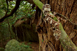 A new species of Leaf-tailed gecko (Saltuarius eximius) sits on a tree trunk in the patches of rainforest on the top of the boulder fields of the Cape Melville Range. Cape Melville National Park, Cape...  -  Tim  Laman