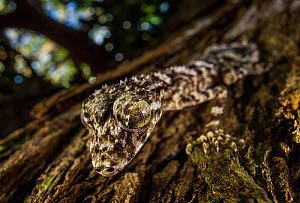 New species of Leaf-tailed Gecko (Saltuarius eximius) sitting on a tree trunk in the patches of rainforest on the top of the boulder fields of the Cape Melville Range. Cape Melville National Park, Cap...  -  Tim  Laman
