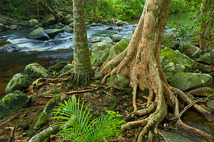 Palm tree and large buttresses tree line a boulder strewn rainforest river with small cascade. Iron Range National Park, Cape York Peninsula, Australia  -  Tim  Laman