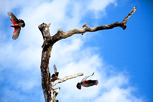 Galah (Cacatua roseicapilla) group taking off from dead tree, Cape York Peninsula, Queensland, Australia.  -  Tim  Laman
