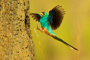 Golden-shouldered parrot (Psephotus chrysopterygius) male landing at nest cavity in termite mound Cape York Peninsula, Queensland, Australia.  -  Tim  Laman