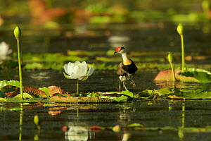 Comb-crested Jacana (Irediparra gallinacea) adult transporting young under his wings among Giant Water Lilies (Nymphaea gigantea) in billabong (pond) Cape York Peninsula, Queensland, Australia.  -  Tim  Laman