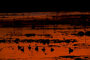 Australasian grebe (Tachybaptus novaehollandiae) flock at sunset, Green Swamp, Piccaninny Plains Sanctuary, Queensland, Australia  -  Tim  Laman