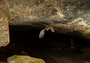 A Kolar leaf-nosed bat (Hipposideros hypophyllus) flying, endemic to one cave in Hanumanahalli village, Karnataka, India. December.  -  Yashpal Rathore