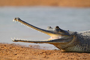 Gharial (Gavialis gangeticus) on the shores of Chambal river, National Chambal Sanctuary, Uttar Pradesh, India. Critically endangered.  -  Oriol  Alamany