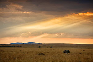 Black rhino (Diceros bicornis) browsing in the savanna under sunset clouds, Masai Mara Nature Reserve, Kenya, Critically endangered species.  -  Oriol  Alamany
