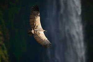 Ruppell's griffon vulture (Gyps rueppellii) flying over Jinbar waterfall, Simien Mountains National Park, Amhara, Ethiopia, September. Critically endangered species.  -  Oriol  Alamany
