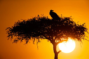 Lapped-faced vulture (Torgos tracheliotus), on a tree at sunrise, Masai Mara Game Reserve, Kenya, September.  -  Oriol  Alamany