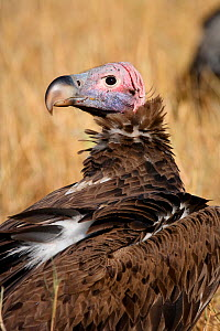 Lapped-faced vulture (Torgos tracheliotus) portrait near a carrion on the savana, Masai Mara Game Reserve, Kenya, September  -  Oriol  Alamany