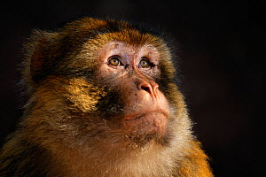 Barbary macaque (Macaca sylvanus) in the cedar and oak forests of the Moyen Atlas, Morocco, December  -  Oriol  Alamany