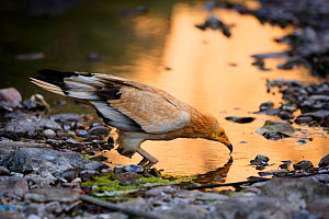 Egyptian vulture (Neophron percnopterus) drinking water on the Wadi Da'arho, Socotra Island, Yemen, March.  -  Oriol  Alamany