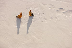 Egyptian vulture (Neophron percnopterus) two on white sand dunes in Arher, Socotra Island, Yemen, March.  -  Oriol  Alamany