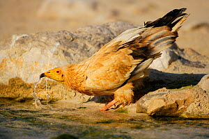 Egyptian Vulture (Neophron percnopterus) drinks freshwater in a small creek in Erher coast, Socotra Island, Yemen, March  -  Oriol  Alamany