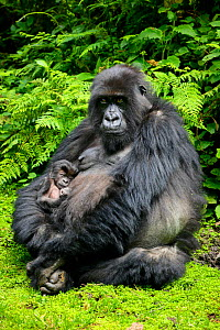 Mountain gorilla (Gorilla berengei) female holding newborn baby, from Titus Group in the Visoke rainforest, Volcanoes National Park, Rwanda, August  -  Oriol  Alamany