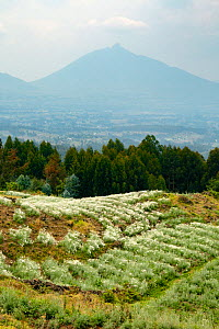 Crops of pyrethrum and eucalyptus plantations near the border of the forest inhabited by Mountain gorilla (Gorilla berengei) Mont Visoke slopes, Volcanoes National Park, Rwanda, August  -  Oriol  Alamany