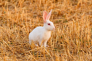 Wild albino European rabbit (Oryctolagus cuniculus), in steppe habitat. Corella, Navarre, Spain. Endangered species  -  Eduardo Blanco