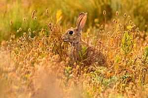 European rabbit (Oryctolagus cuniculus) in steppe habitat. Alfaro, La Rioja, Spain. Endangered species  -  Eduardo Blanco