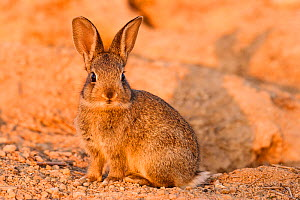 European rabbit (Oryctolagus cuniculus) in steppe habitat. Corella, Navarre, Spain. Endangered species  -  Eduardo Blanco