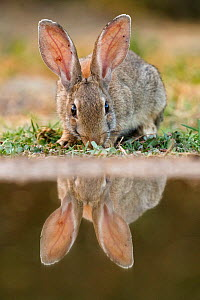European rabbit (Oryctolagus cuniculus) at river edge, with reflection. Corella, Navarre, Spain. Endangered species  -  Eduardo Blanco