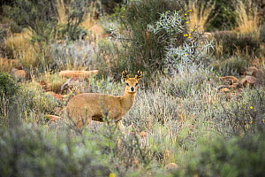 Klipspringer (Oreotragus oreotragus), Karoo National Park, Western Cape, South Africa.  -  Houdin and Palanque